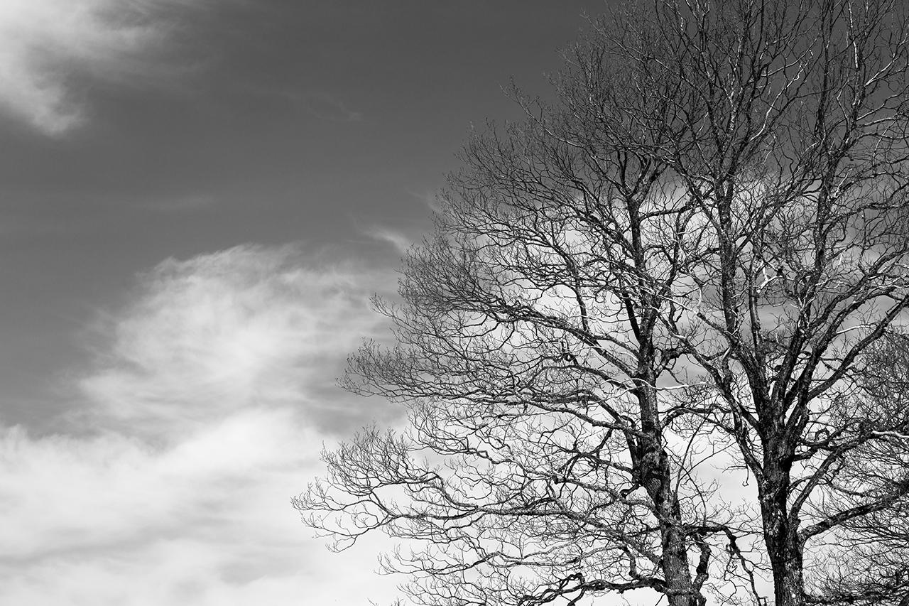 sirino trees