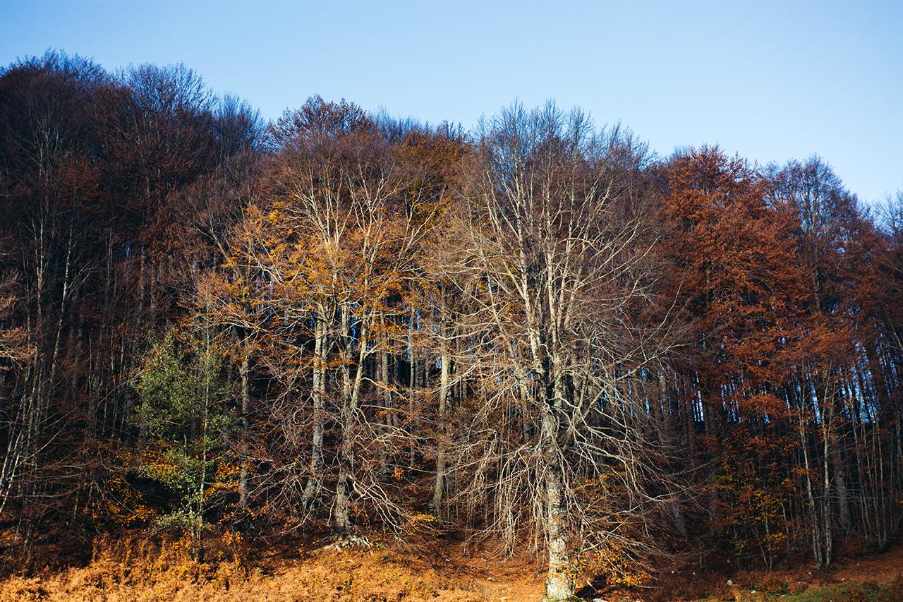 laudemio trees