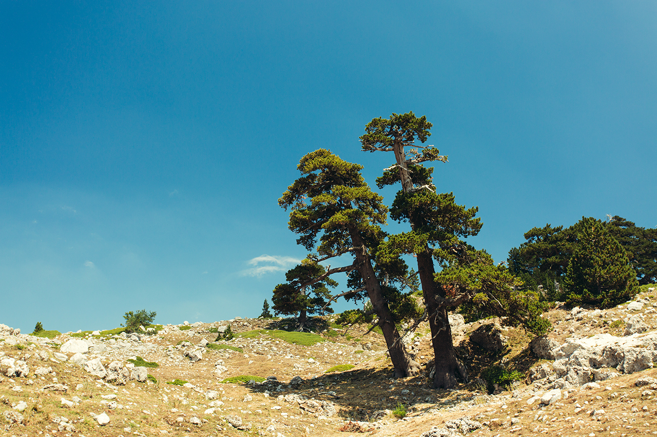 pollino guardians trees