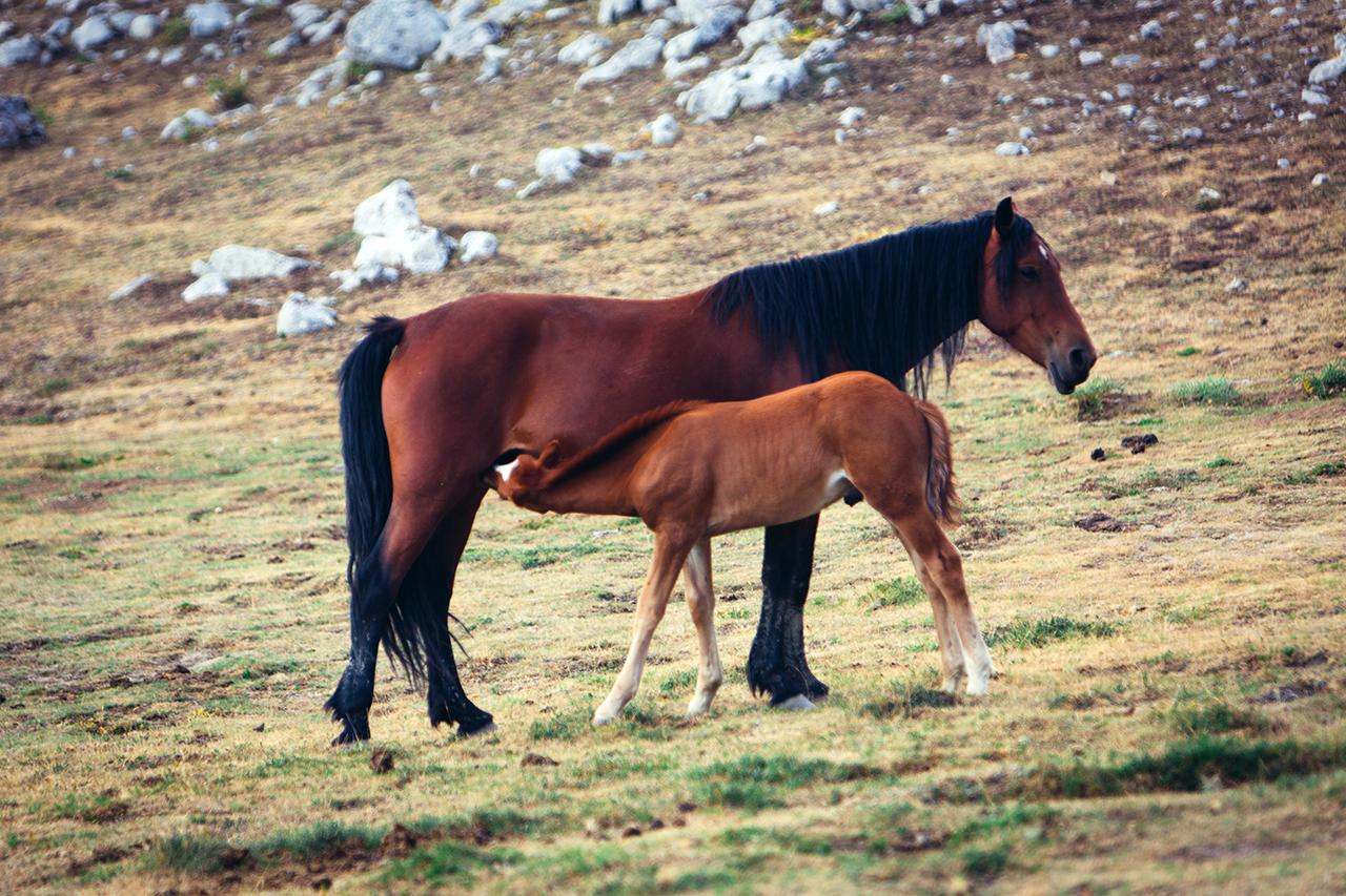 pollino horse feeding