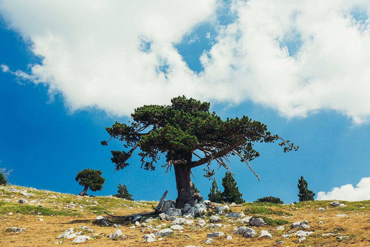 pollino father tree