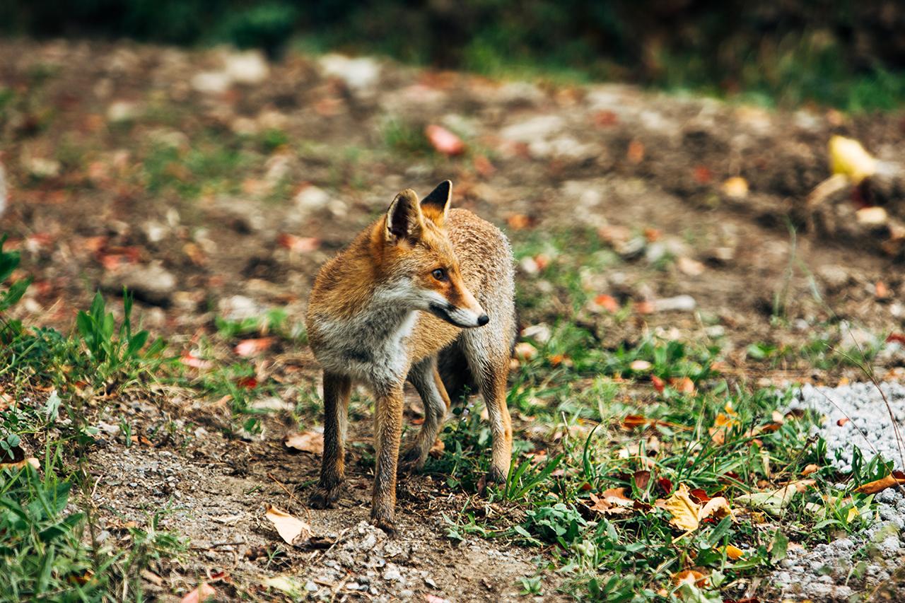 lauria fox