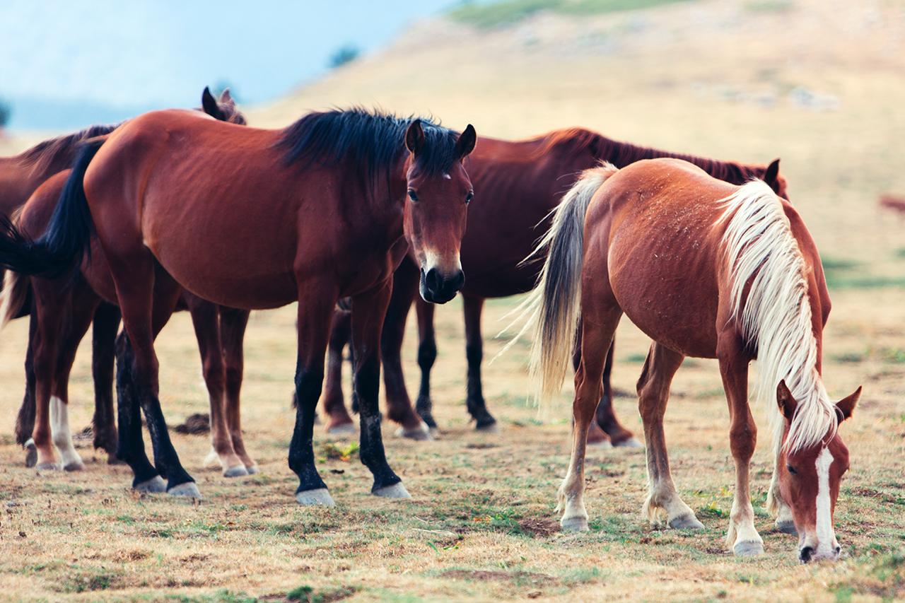 pollino wild horses