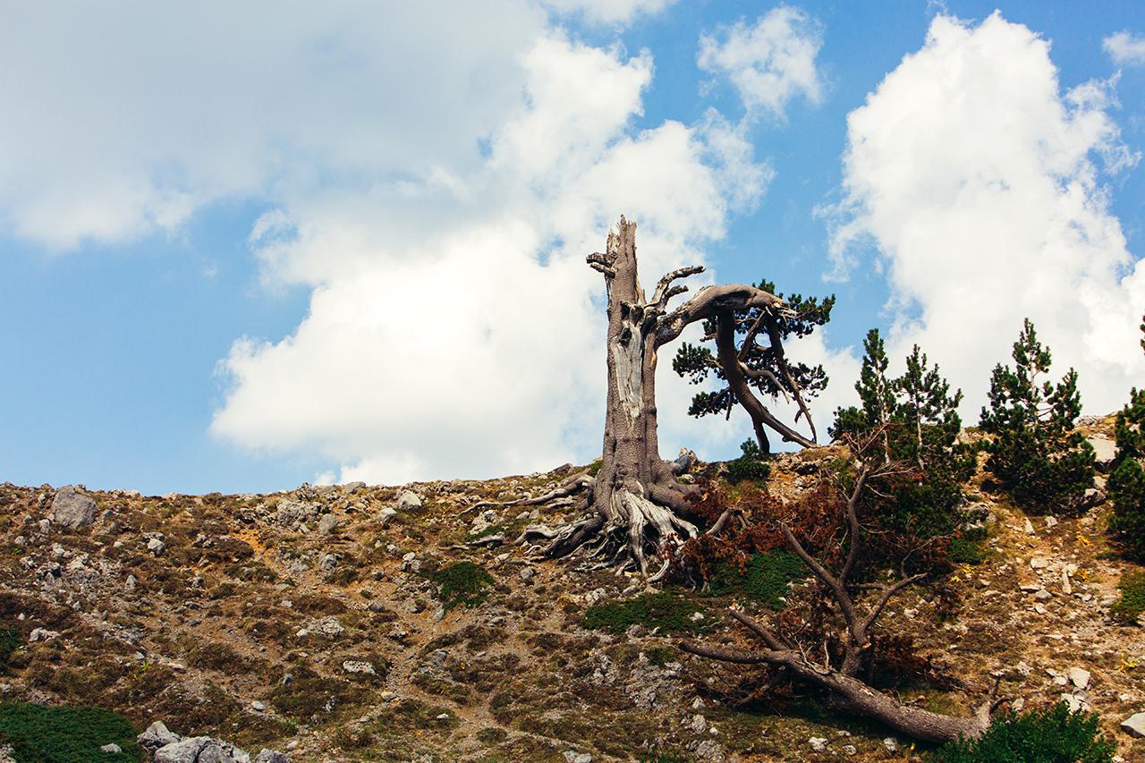 broken pine