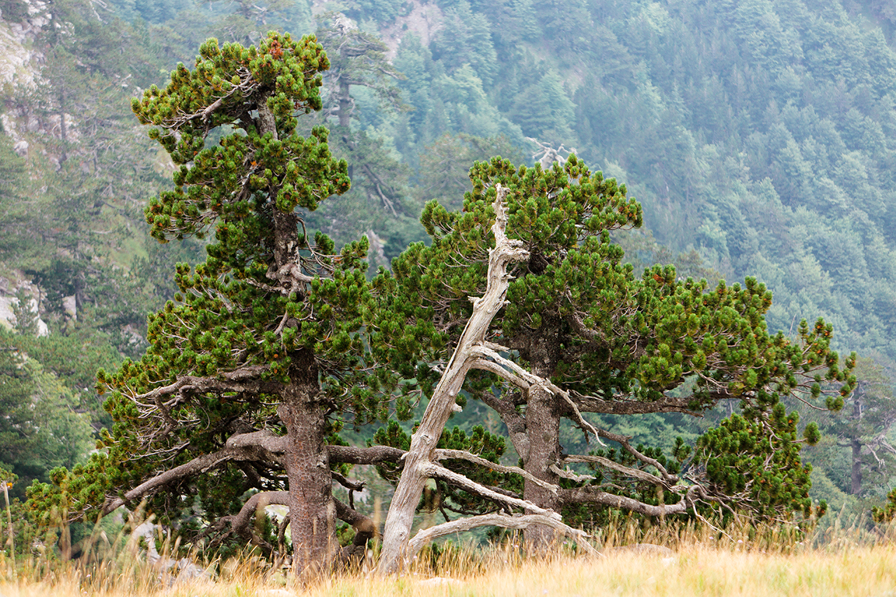 pollino pine green hair