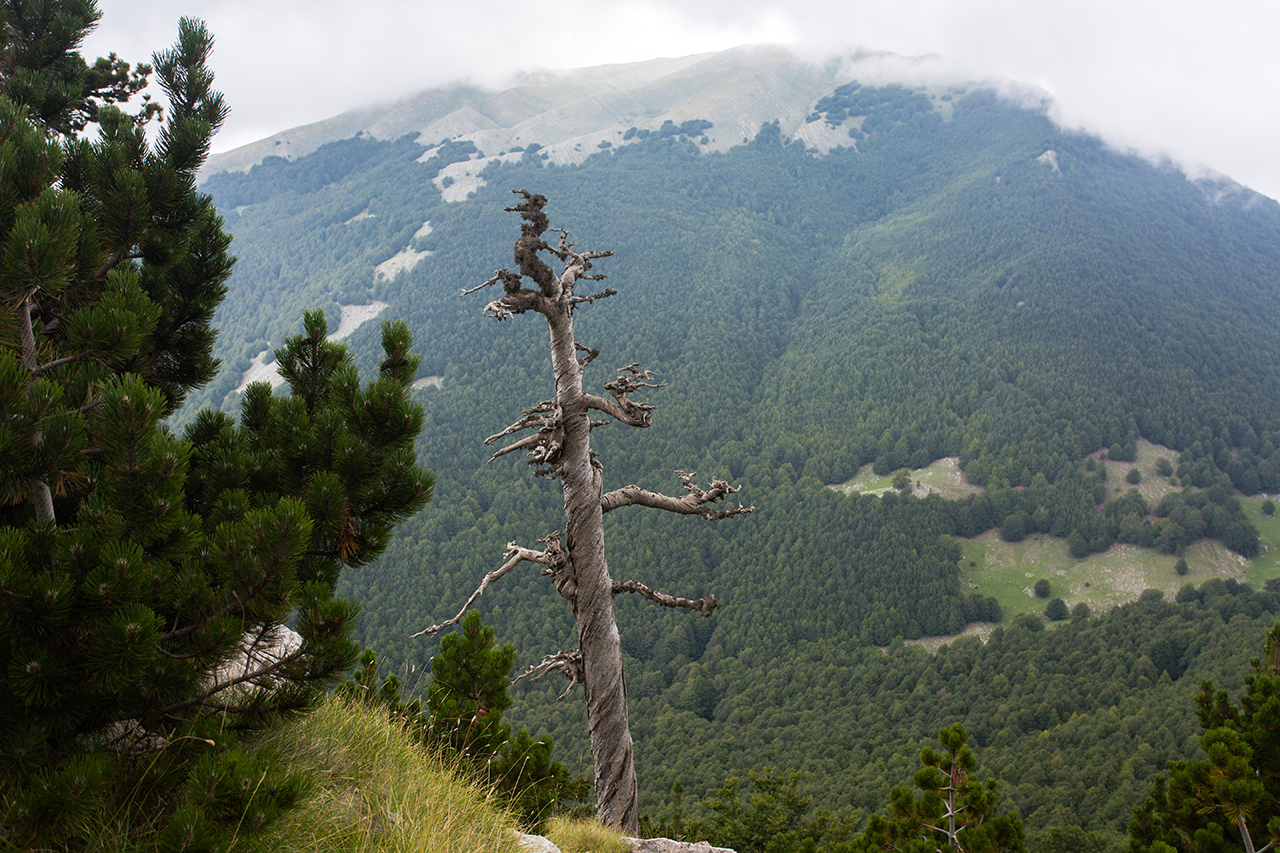 pollino old lonely bosnian pine