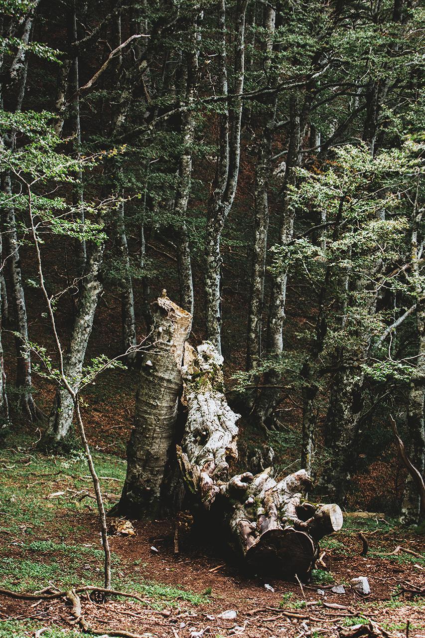 pollino broken tree