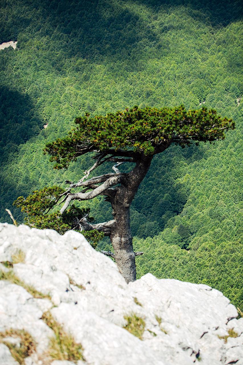 Pollino - Flat Hair Pine