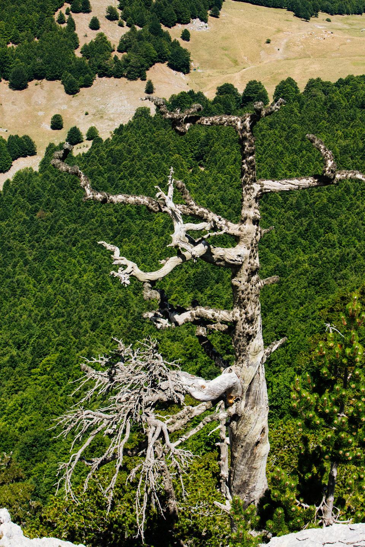 pollino scarecrow bosnian pine