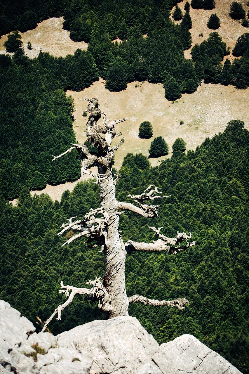 pollino white screw bosnian pine