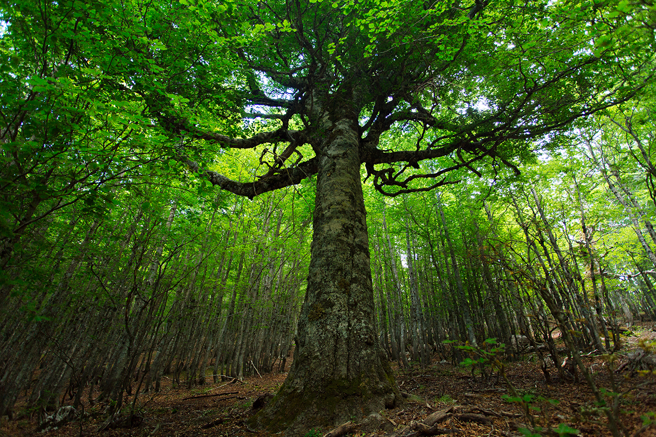 """Pollino Old Beech Tree"""