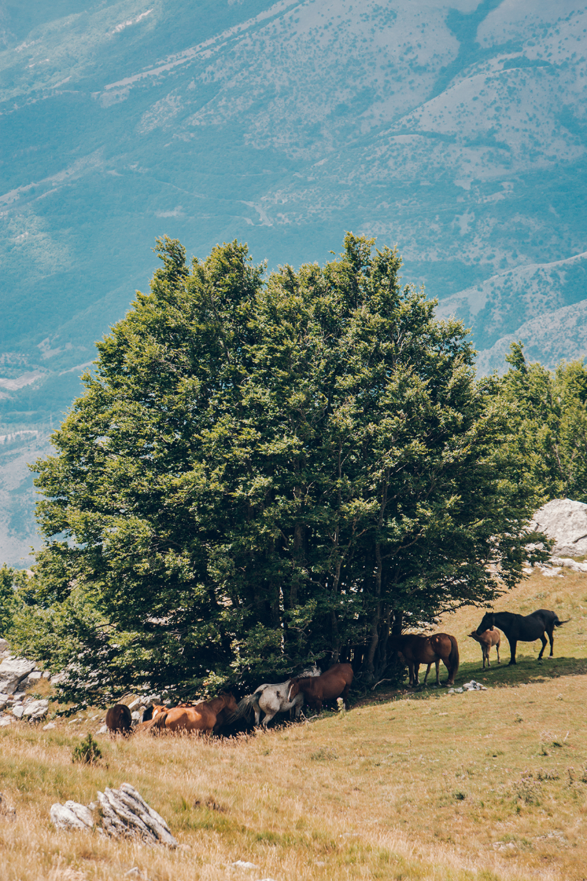 """pollino horses searching for the shadow"""