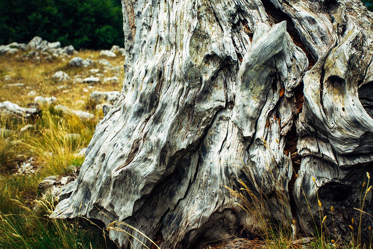 bosnian pine skin