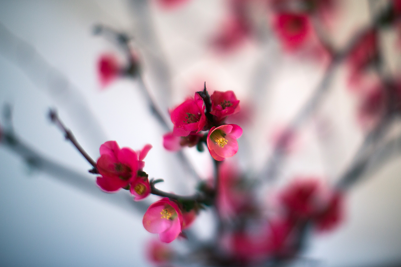 dreamy blossoms
