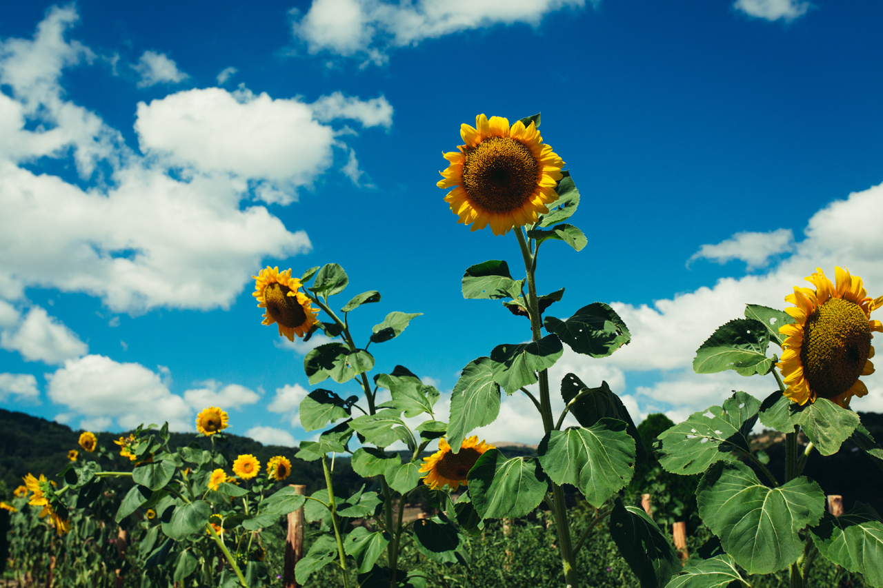 pietraferrata sunflowers