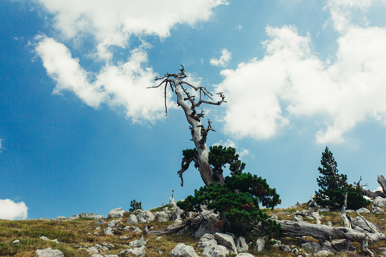 pollino tree towards the sky