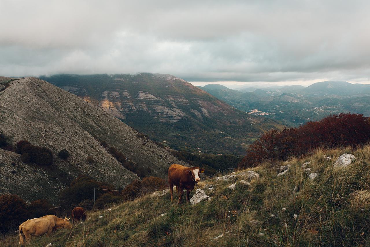 trecchina cows