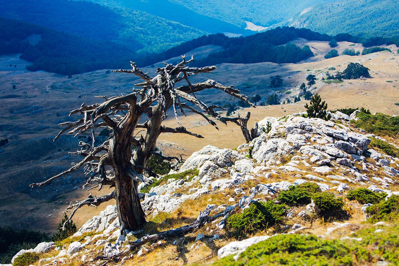 pollino pine overlooking valley