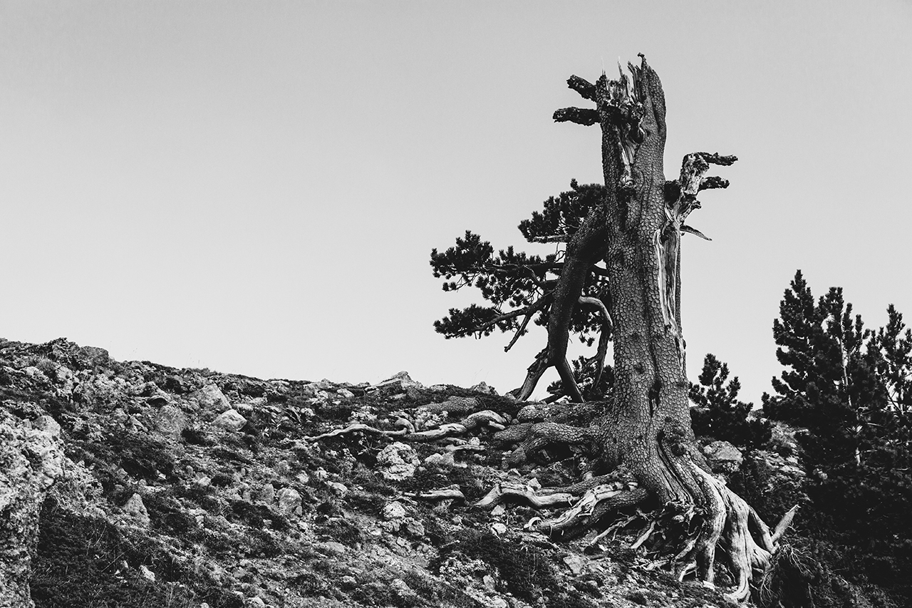 Pine's roots
