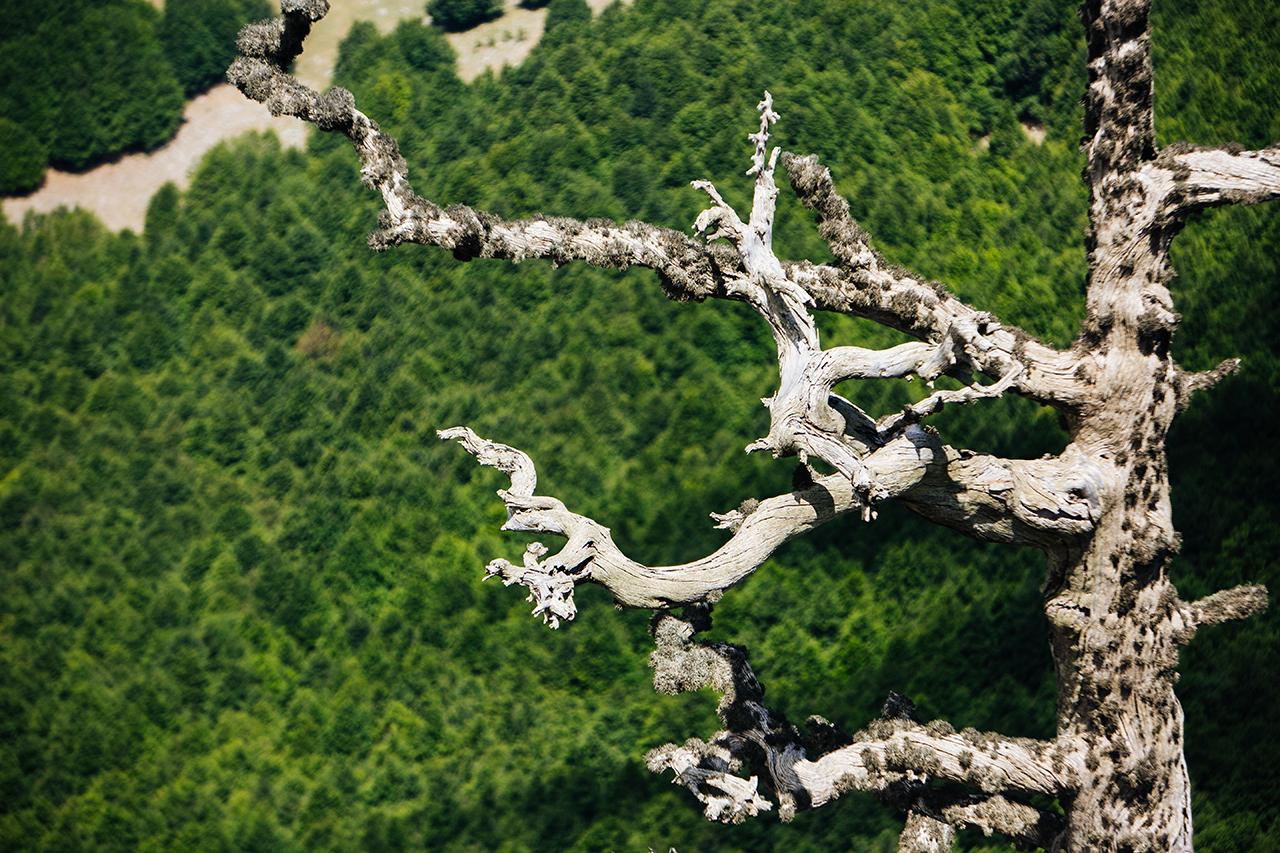 bosnian pine scarecrow